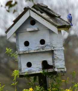 bluebird pic